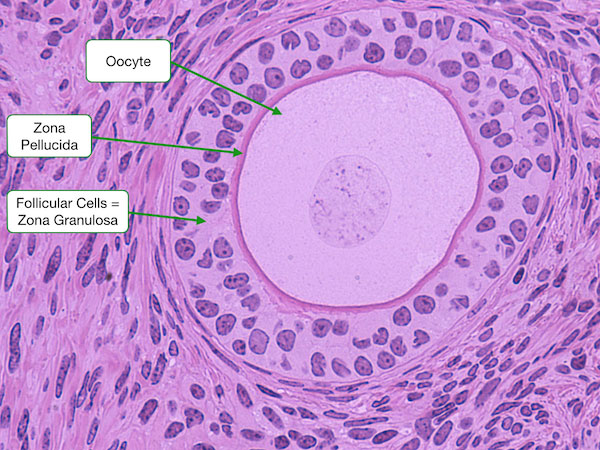 ovary histology graafian follicle wwwpixsharkcom