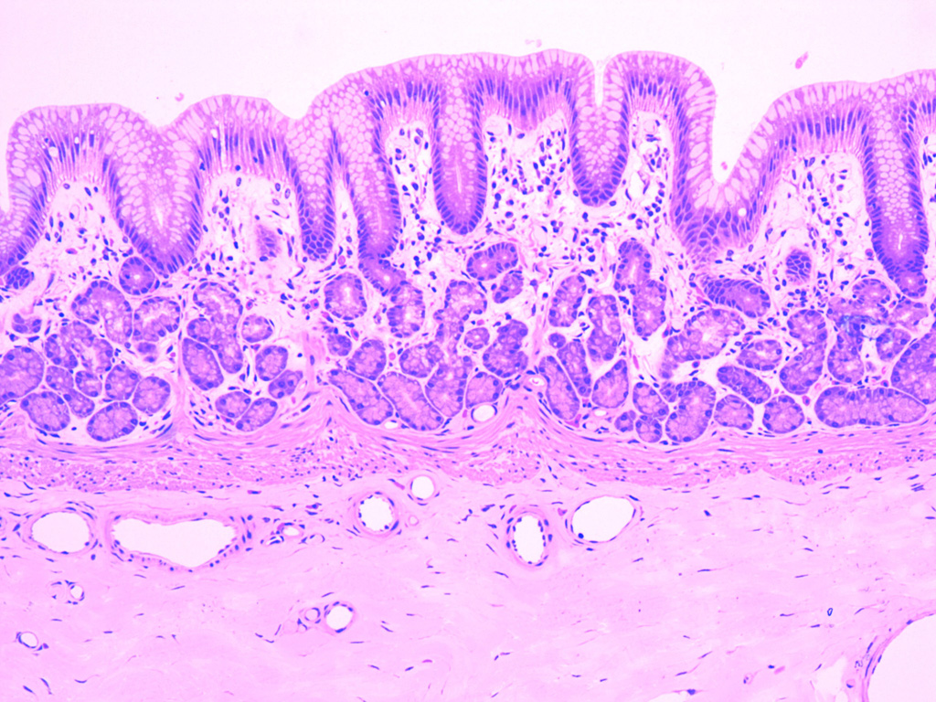 Cardiac Stomach Histology