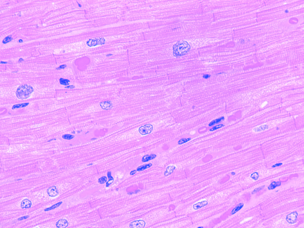 Cardiac Muscle Cells