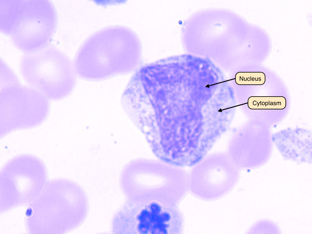 Myelocyte lineage